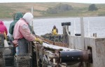 A motor-driven conveyor belt brings oysters from flat boat in the water to workers onshore.