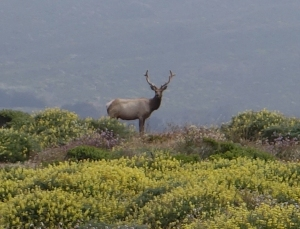 Tule elk once roamed California in large herds.  Photo:  C. Reeb, June 2014.