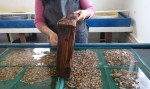 Sorting year-old oysters by size in the rearing facility.